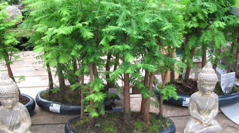 «Ископаемое растение» для сада